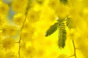 ミモザの花の素材 [FYI00143030]