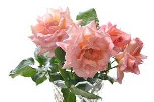 サーモンピンクのバラの写真素材 [FYI00143031]
