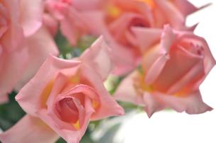 薔薇の写真素材 [FYI00143055]
