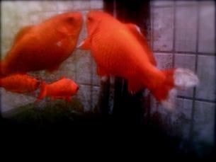 金魚の写真素材 [FYI00143071]