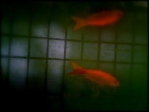 金魚の写真素材 [FYI00143081]