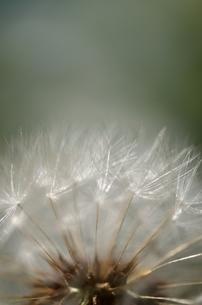 綿毛の写真素材 [FYI00143083]