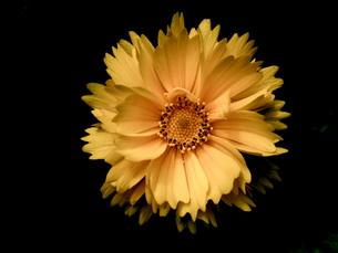 Yellow  Flower の写真素材 [FYI00143087]