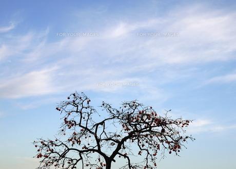 青空と柿ノ木の写真素材 [FYI00143226]