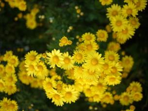 公園に咲いている野菊の写真素材 [FYI00143235]