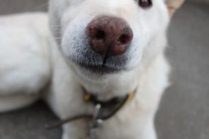 鼻の大きな犬の写真素材 [FYI00143243]