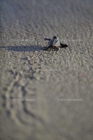 子ウミガメの写真素材 [FYI00143287]