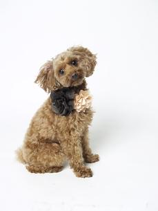 かわいい愛犬の写真素材 [FYI00143302]