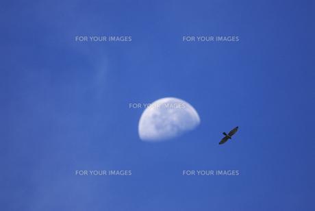 月とサシバの写真素材 [FYI00143417]