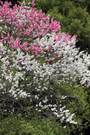 紅白八重桜の写真素材 [FYI00143468]