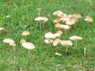 芝生のきのこの写真素材 [FYI00143482]