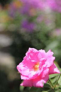 牡丹の花の写真素材 [FYI00143499]
