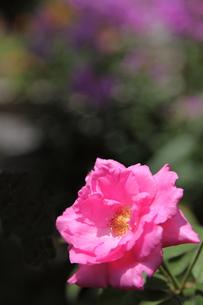 牡丹の花の写真素材 [FYI00143519]