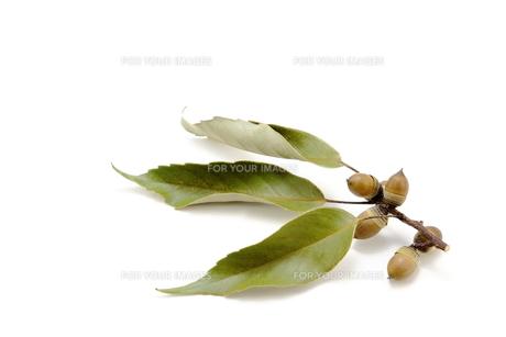 ドングリと葉の素材 [FYI00143676]