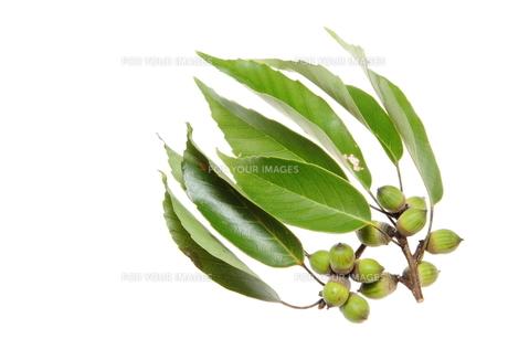 ドングリと葉の素材 [FYI00143682]