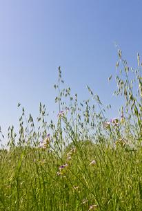 牧草地の草と青空の写真素材 [FYI00143870]