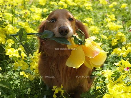 幸せの黄色い花とダックスの写真素材 [FYI00144275]