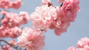 桃の花の写真素材 [FYI00144306]