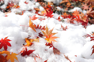 初雪と紅葉と玉砂利の写真素材 [FYI00144328]