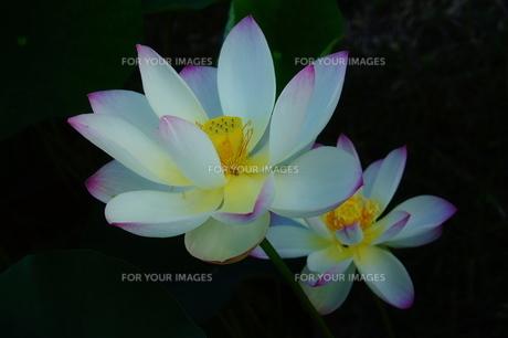 夏の妖精 〜双子〜の写真素材 [FYI00144345]
