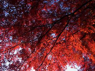 紅葉2(colored leaves 2)の写真素材 [FYI00144356]