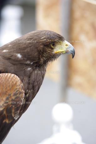 鷹の写真素材 [FYI00144831]