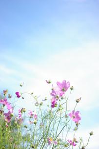 秋空とコスモスの写真素材 [FYI00144848]
