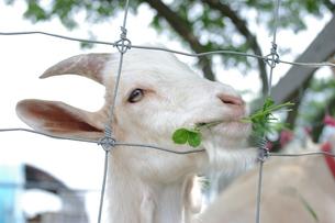 草を食むの写真素材 [FYI00144862]