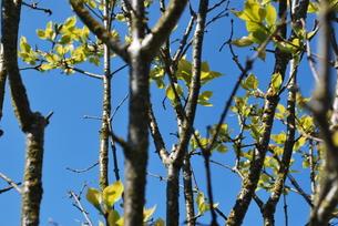 春の新芽の写真素材 [FYI00144952]