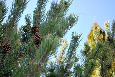 松の木の写真素材 [FYI00145009]