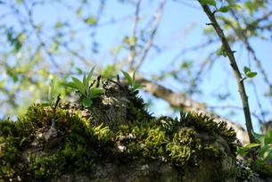 春の新芽の写真素材 [FYI00145025]