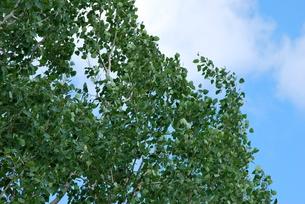 風に揺れる木の葉の写真素材 [FYI00145068]