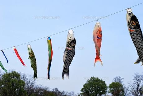 鯉のぼりの写真素材 [FYI00145130]