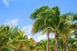 カリブ海のヤシの木の写真素材 [FYI00145133]