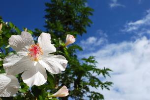 ハワイの白いハイビスカスの写真素材 [FYI00145150]