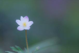 ふんわりと優しく咲くニリンソウの写真素材 [FYI00145160]
