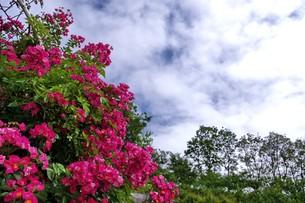 ピンクスプレー(ミニバラ)の写真素材 [FYI00145236]
