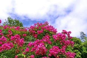 ピンクスプレー(ミニバラ)の写真素材 [FYI00145244]