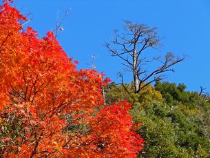 秋!赤と青のコントラスト(湯の山温泉街にて)の写真素材 [FYI00145265]