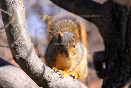 リス(Rusty red fox squirrel)の素材 [FYI00145382]