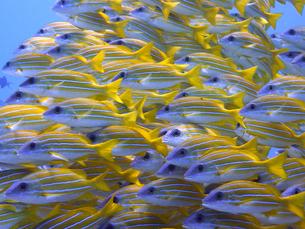 魚群の素材 [FYI00145401]