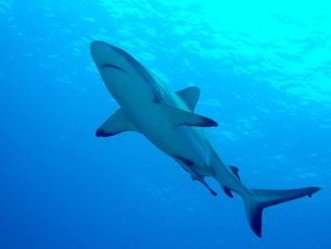 美しい生き物 サメの素材 [FYI00145413]