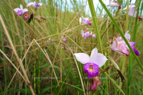 ナリヤラン (成屋蘭) Bamboo Orchid の素材 [FYI00145416]