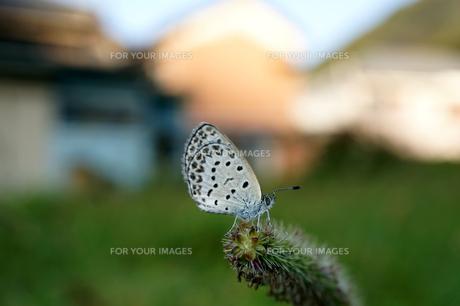 蝶 ヤマトシジミの素材 [FYI00145417]