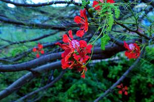 雨上がりの青い朝に咲く南洋桜(フレームツリー、ファイアツリー)の素材 [FYI00145425]