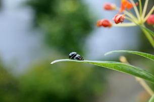 葉の上で交尾をするダンダラテントウのペアの素材 [FYI00145435]