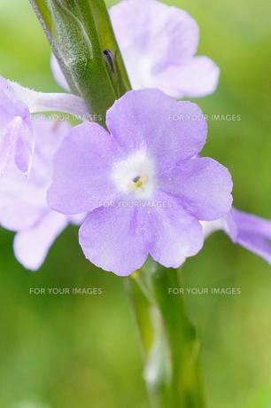 小さな花の素材 [FYI00145445]