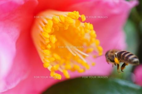 春のように鮮やかなサザンカとミツバチの写真素材 [FYI00145449]