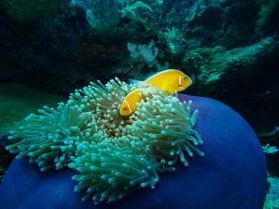 ハナビラクマノミ(Pink anemonefish)のペアとセンジュイソギンチャクの素材 [FYI00145460]