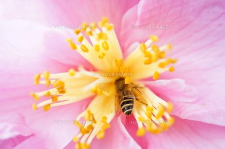 サザンカとミツバチの素材 [FYI00145476]